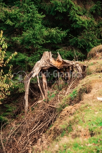 Uprooted tree in the forest on a sunny day