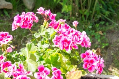 Vibrant pink coloured flowers in the garden