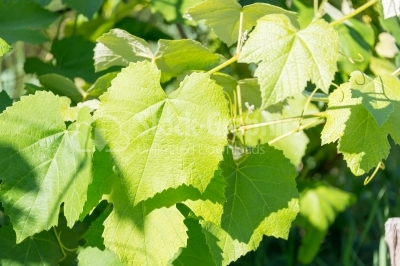 Vine leaf in summer light