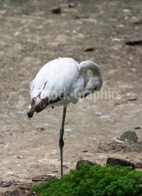White Flamingo