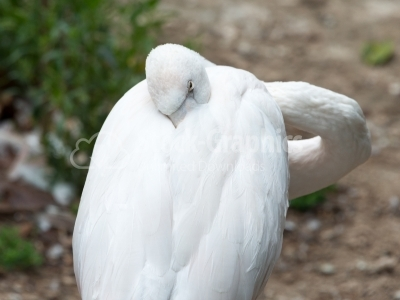 White Flamingo Hidding