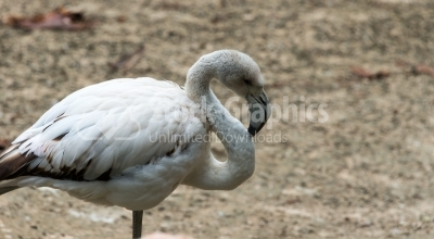 White flamingo side vide