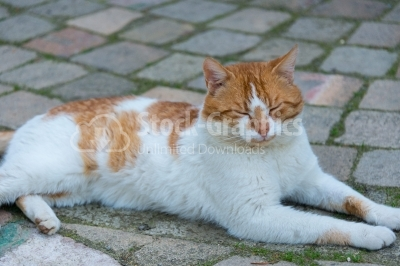 White-orange-coloured cat relaxing