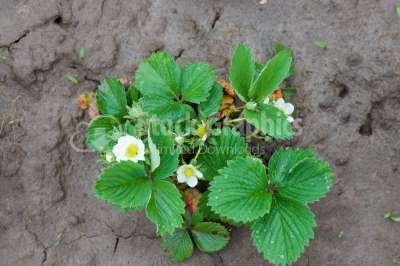 Young blooming bush of strawberries planted in the ground