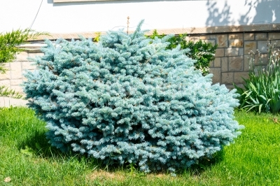 Young tree of blue spruce